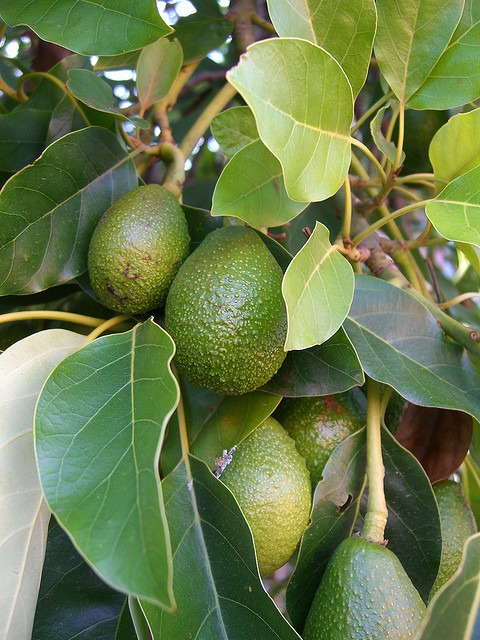 A13_Avocado_Tree_Fruit